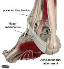 Tendons In The Shoulder Diagram Foot Anatomy Tendons And Ligaments