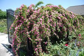 a rose a day peggy martin u2013 the garden diary