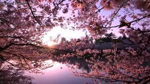 hd hirosaki park cherry blossom festival youtube