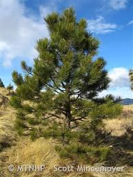 ponderosa pine montana field guide