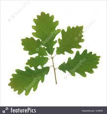 White Oak Leaf Plants Oak Leaf Sprig Stock Image I2736375 At Featurepics
