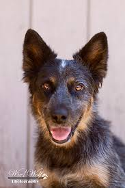 australian shepherd qld acdr home page arizona cattle dog rescue