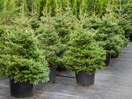 fresh ideas tree in a pot fraser fir trees delivered