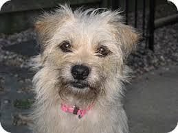 affenpinscher puppies for sale in texas peanut u0027s buttercup adopted dog houston tx affenpinscher