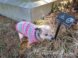 chihuahua sweaters hartwood roses pattern for winnie s tiny knitted sweater