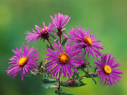 new wallpaper new england asters wallpaper flowers nature wallpapers in jpg