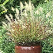 grasses ornamental purple grass for sale zone 7