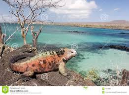 iguana island iguana on floriana island stock photo image of blooded 7323688
