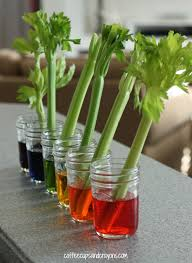 celery science experiment for kids coffee cups and crayons