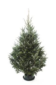 real fraser fir trees the forest