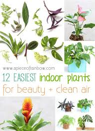 Fiddle Leaf Fig Tree Care by All About Fiddle Leaf Fig Care Tips And Easy Propagation A