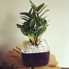 zz plant in small pot zz plant pinterest plants bonsai and