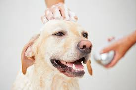 Dog In Shower by Certificate In Dog Grooming