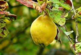 all about quince from season to taste
