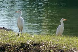 backyard birding u2013 egrets u2013 what u0027s chirping