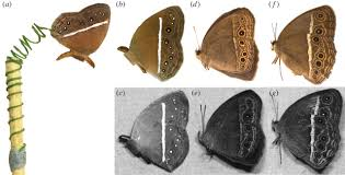 attack risk for butterfly eyespots open science