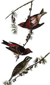 new hampshire state bird purple finch 50states com