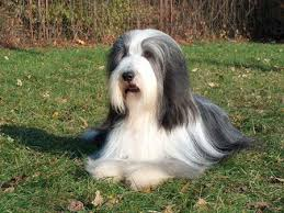 bearded collie adoption bearded collie puppies for long hair nationtrendz com
