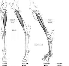 Dog Anatomy Front Leg Gluteobiceps Animal Anatomy Joshua Nava Arts
