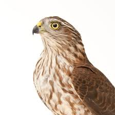 sharp shinned hawk national geographic