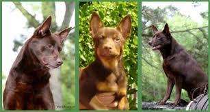 Bench Kelpie Puppies Sale The Pet Directory Australia Dogs World U0027s Largest Online Pet