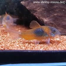 Buy Ornamental Fish Corydoras Venezuelanus Orange Dnz Buy Ornamental Fish