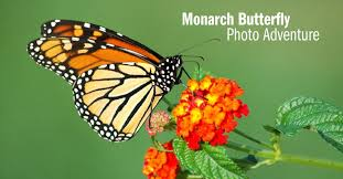 monarch butterfly photo tour photo expeditions