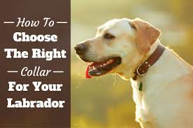 Radio Collar For Beagle How To Choose And Use The Right Collars For Your Labrador