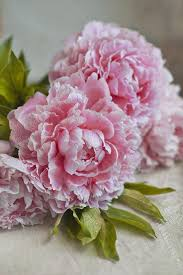 Peonies Flower 200 Best Peony Images On Pinterest Flowers Pretty Flowers And