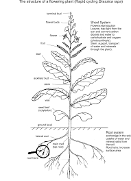 the structure of a flowering plant brassica rapa