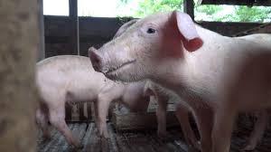 micro pigs mini pigs pet pigs cute animals kids