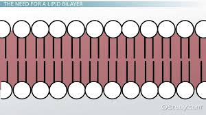 What Is The Best Definition Of A Functional Resume by Lipid Bilayer Definition Structure U0026 Function Video U0026 Lesson
