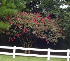 crepe myrtle one hundred days of flowers forest garden