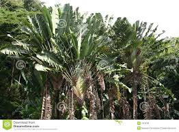 Ravenala madagascariensis travelers palm fan stock photo image
