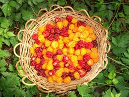 native american plants used for medicine salmonberry food medicine culture part 1 goodfood world