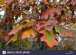 close up of oak leaves in autumn pembrokeshire wales stock photo