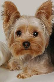 yorkie hairstyles photo gallery 107 best yorkshire terrier images on pinterest fluffy pets