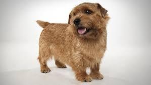 bedlington terrier guide norfolk terrier dog breed selector animal planet