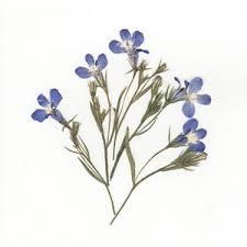 pressed flowers pressed blue lobelia pressed lobelia flowers pressed flo