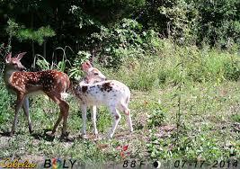 should you hunt piebald deer realtree