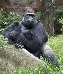 gorilla gorilla wikipedia