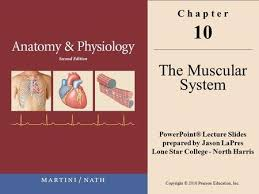 Anatomy And Physiology The Muscular System Chapter 10 The Muscular System Ppt Video Online Download