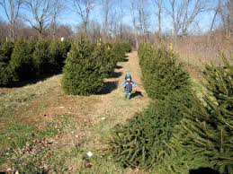 choose and cut your own christmas tree macaroni kid