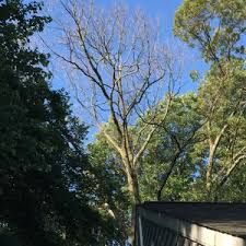 top half half of oak tree did not leaf out this year ask an expert