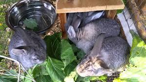 american chinchilla meat rabbits youtube