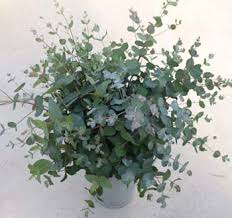 silver drop eucalyptus pkt 15 20 seeds