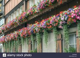 balkon blumen balkonblumen surfina geranien stock photo royalty free image
