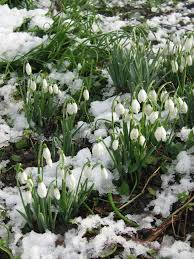 106 best snowdrops images on pinterest flowers spring flowers