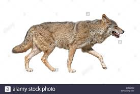 steppe wolf canis lupus run in pursuit side view stock