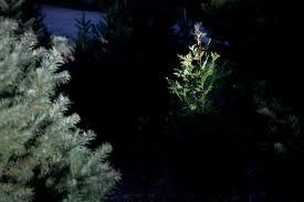 christmas tree farms make santa cruz a winter destination too